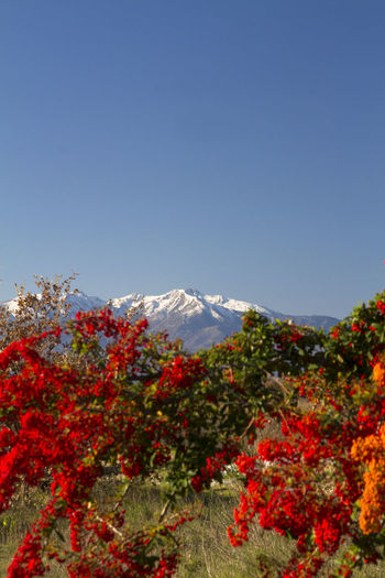 Canigou Mountain Mountain Plant Beauty In Nature Sky Nature Flower Scenics - Nature No People Flowering Plant Day Clear Sky Copy Space Tree Environment Freshness Red Blue Tranquil Scene Landscape Tranquility Outdoors Mountain Peak Snowcapped Mountain