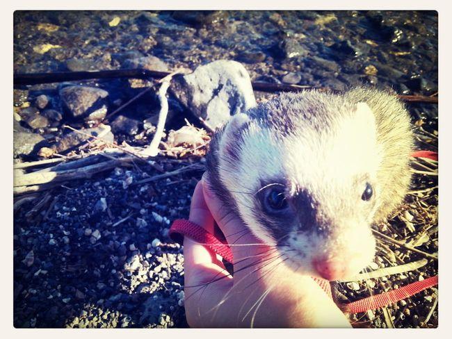cutest creature in the world! mah bibi boy Cute Pets My Ferret