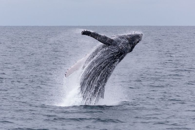 Whale jumping in sea against sky