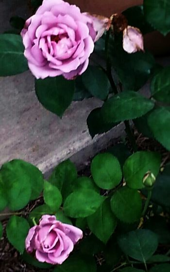 "Flower Porn In The Garden At The Ranch  Follow Me Springntexas Angel Face for ""The Dark Poet"""