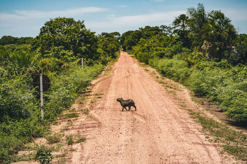 View of capybara on road