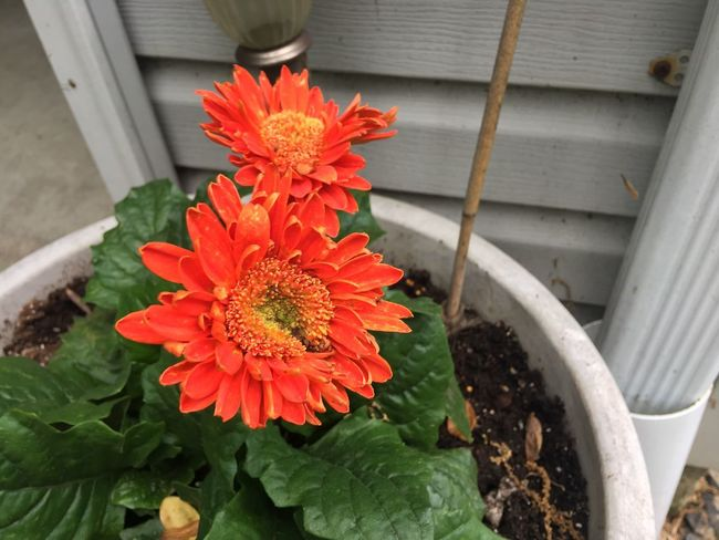 Flower Flowering Plant Plant Freshness Vulnerability  Beauty In Nature Growth Fragility Nature Orange Color Close-up