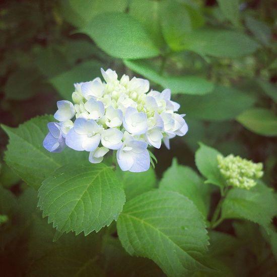 คิดถึงญี่ปุ่น ช่วงที่ไปดอกไฮเดรนเยียกำลังบานเต็มเลย Japan Kyoto Hydrengea Blue flowers