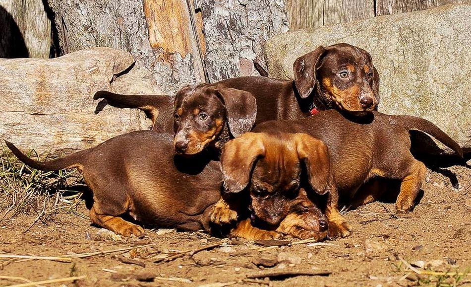 Animals Dackel Dog Love Dogs Fun Funtimes In The Sun Photographer Puppy Welpen