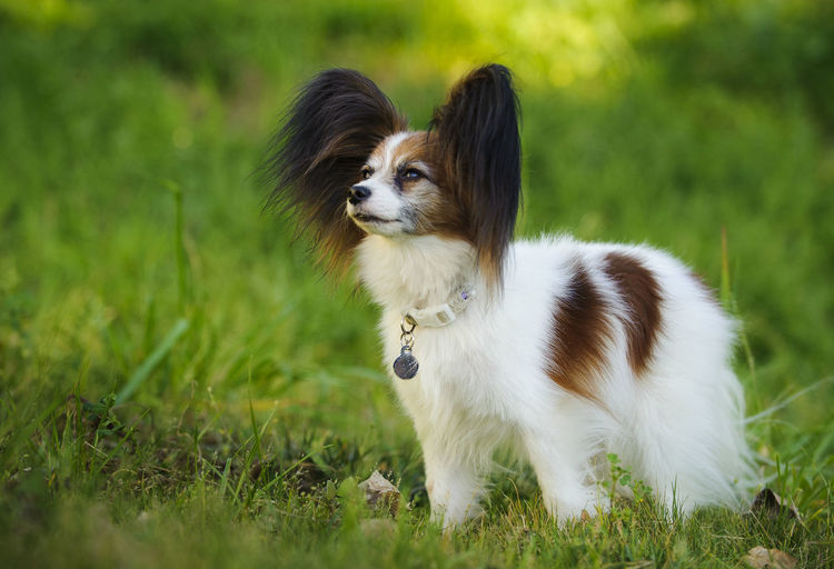 Papillon dog looking up on grassy field