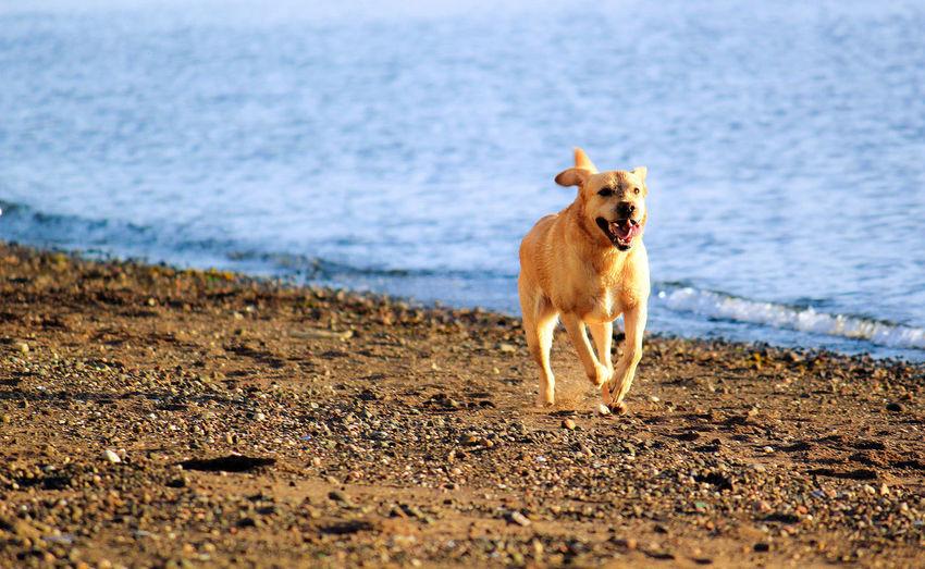 Beach Dog Domestic Animals Fetch Outdoors Pets Running Sea