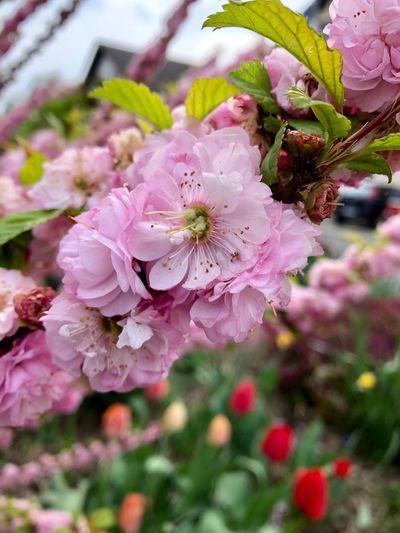 Blütenzauber Frühling Flower Flowering Plant Plant Freshness Fragility Beauty In Nature Vulnerability