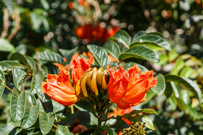 African Tuliptree Spathodea Beauty In Nature Blooming Close-up Day Flower Flower Head Focus On Foreground Fragility Freshness Green Color Growth Leaf Nature No People Orange Color Outdoors Park - Man Made Space Petal Plant