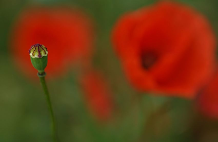 Beauty In Nature Close-up Contrasting Colors Faded Fieldscape Flower Flower Head Fragility Growth Nature No People Outdoors Pistil Plant Poppy Red