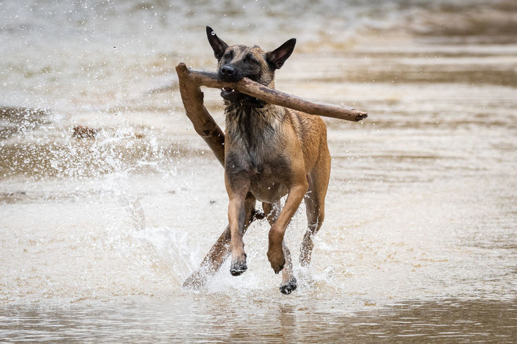 View of dog running on water