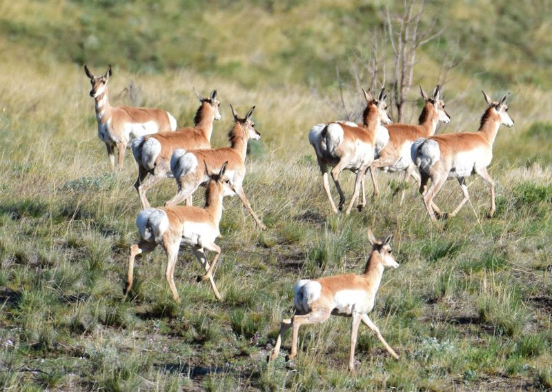 Antelope Antilocarpa Americana Flee Herd Herd Of Antelope Home On The Range Large Group Of Animals Pronghorn Pronghorn Antelope Rangeland Safari Animals This Week On Eyeem Western