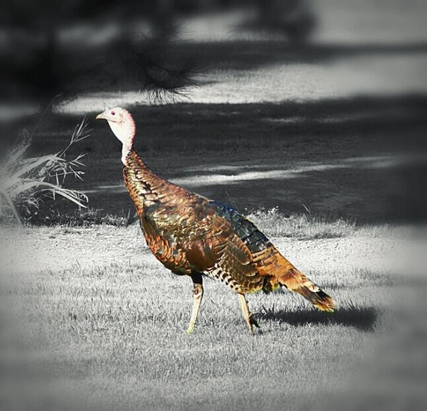 Dinner Turkey Turkeytime Wild Turkey Turkey_photo Wildlife Wildlife & Nature Wild Birds A View Of Wildlife Photographing Wildlife Wildlife_perfection
