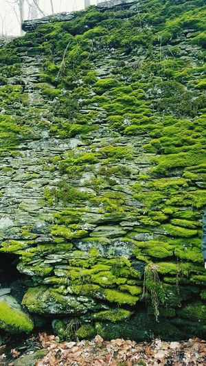 Stone Wall Moss