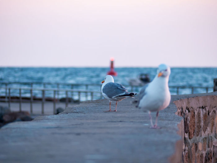 Seagulls perching on stone wall at beach against clear sky