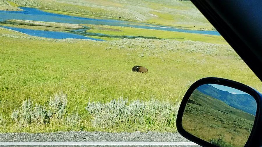 Lonely buffalo,