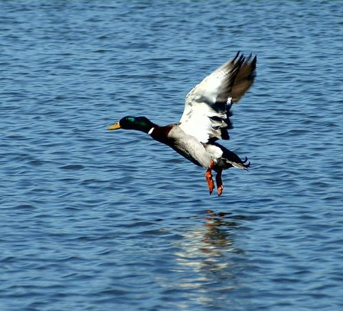 Ducks Flying DUCKS :) Ducks Unlimited  Ducks At The Lake Duck Photography Ducks😄 Duck Love Check This Out Photography #photo #photos #pic #pics #tagsforlikes #picture #pictures #snapshot #art #beautiful #instagood #picoftheday #photooftheday #color #all_shots #exposure #composition #focus Capture Moment [ Showcase April First Eyeem Photo Getty X EyeEm Images Eyeemphotography Eyeemphotography Phonephotography Getty & Eyeem Getty Images Epic Shot Photography EyeEm Gallery Getty+EyeEm Collection Photography EyeEm Best Shots Epic Pics EpicShotPhotography Photography #photo #photos #pic #pics #tagsforlikes #picture #pictures #snapshot #art #beautiful #instagood #picoftheday #photooftheday #color #all_shots #exposure #composition #focus #capture #moment