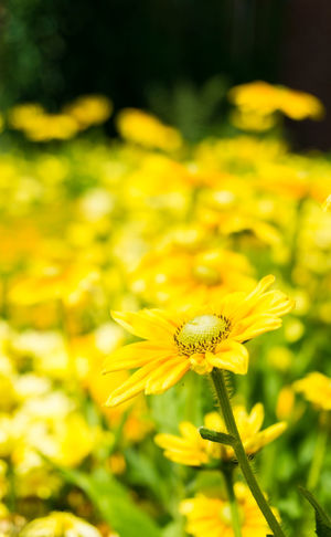 Close-up of a yellow Flower Head in Sunlight. Golden Daisy Bush in Summer Asteraceae Blooming Close-up Closeup Euryops, Chrysanthemoides Flower Flower Head Flowering Fragility Freshness Garden Golden Daisy Bush Green Growing Growth Meadow Nature Nature Petal Plants Season  Summer Yellow
