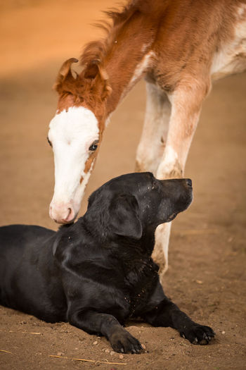 Black Lab Dog And Horses Friends Horse And Dog Labrador Animal Animal Themes Bald Face Black Labrador Black Color Brown Canine Curiosity Dog Domestic Animals Foal Friendship Horse Labrador Retriever Marwari No People Pets Retriever Unlikely Friendships Young Animal