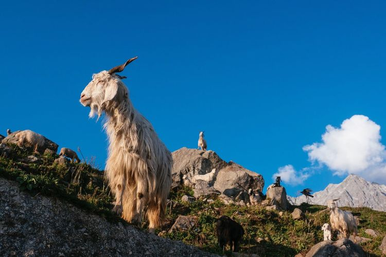 Animal Themes Mountain Beauty In Nature Outdoors Nature Rock - Object Goat Top Outdoor Photography Blue Outdoor Sheep India