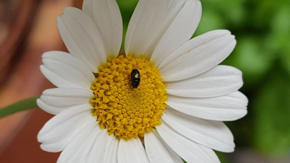 Daisy Insekt On Flower Flower Petal Insect One Animal Fragility Nature Freshness Beauty In Nature White Color Animal Themes Yellow Flower Head Animal Wildlife Animals In The Wild Pollen Outdoors Close-up Plant Day Garden Photography Outdoors Photography