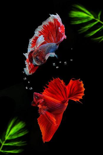 Close-up of orange fish swimming in sea