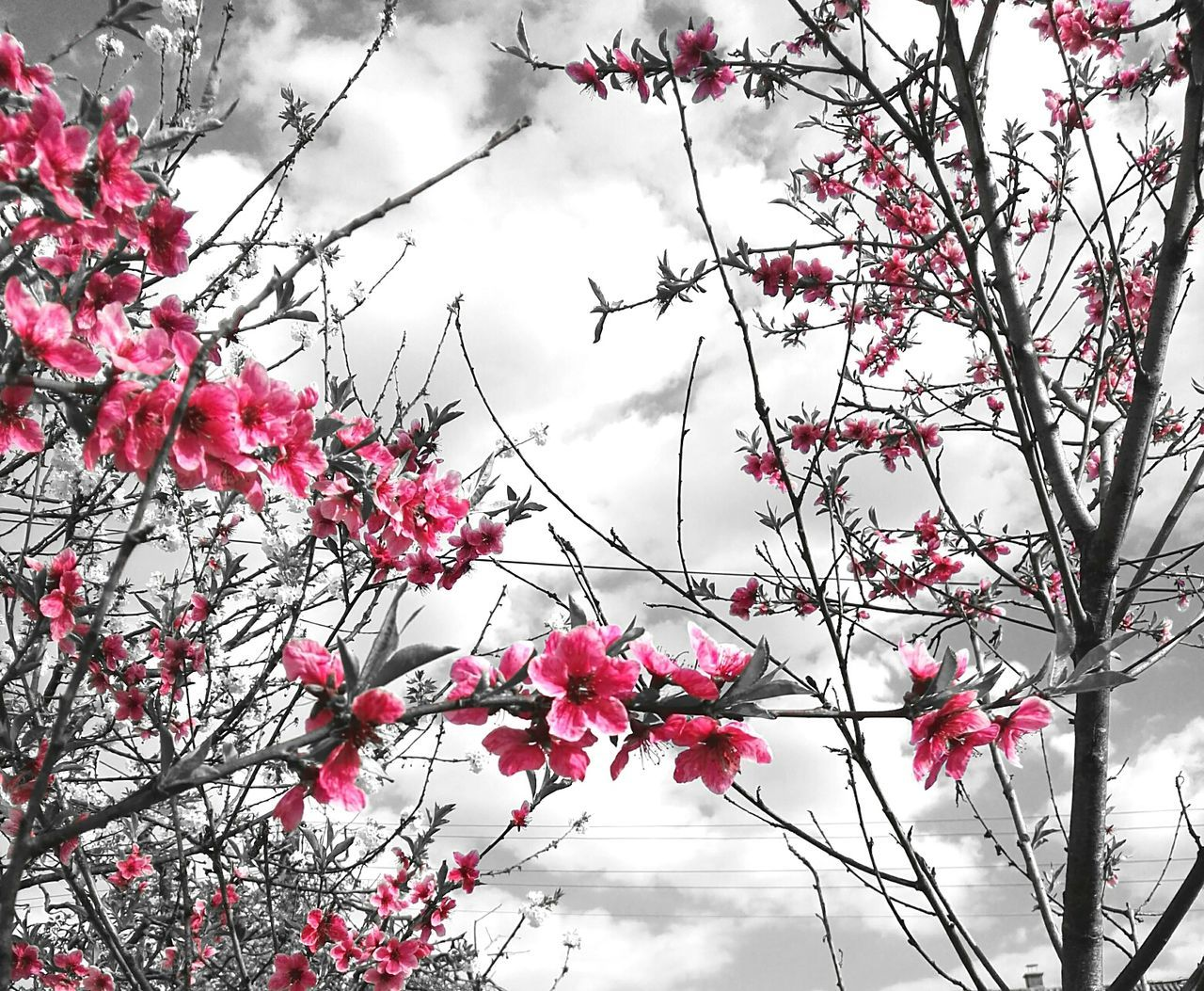 flower, growth, beauty in nature, nature, branch, tree, fragility, pink color, freshness, blossom, petal, no people, day, springtime, outdoors, plant, low angle view, sky, red, blooming, flower head, close-up