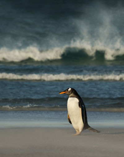 Full length of penguin perching at beach