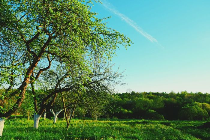 Tree Green Color EyeEm Nature Lover Enjoying Life Colours Of Spring Growth Nature Freshness Outdoors Beauty In Nature Clear Sky Blue Agriculture Grass Colours Of Life Garden Photography Apple Trees Garden Garden Tranquility Springtime Sunny Green Color Freshness Colours Of Nature Sunlight