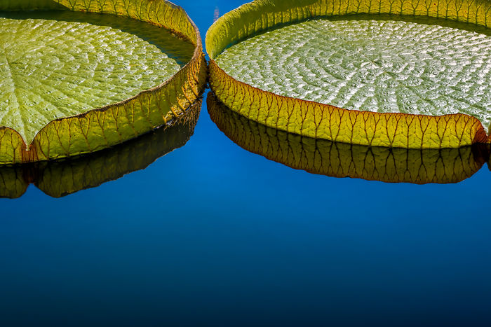 Blue Circles Giant Lily Pads Green Pad Plant Victoria Lily Pads Water Lilies Water Plants Water Reflections