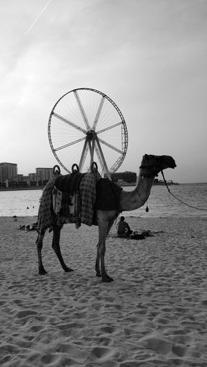 Camel Water Men Full Length Occupation Beach Standing Fisherman Fishing Net Sand Sea Fishing Industry Commercial Fishing Net Asian Style Conical Hat Boat Moored Fishing Tackle Fishing Boat Trawler Fishing Fishing Equipment Fish Market Carrying On Head Catch Of Fish Mast Buoy Nautical Vessel Outrigger