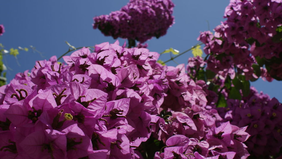Flower Beauty In Nature Blooming Clear Sky Day Flower Freshness Lilac Nature Outdoors Petal Pink Color Plant Purple Sky