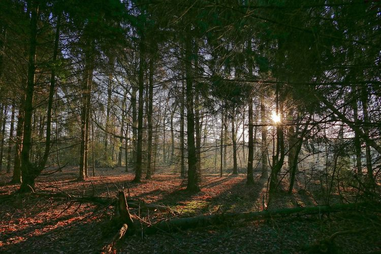 sunrise in a forest Backlight Beauty In Nature Fir Forest Landscape Nature No People Outdoors Scenics Sun Sunlight Sunlight And Shadow Sunrise Tranquil Scene Tranquility Tree Trees Winter EyeEmNewHere
