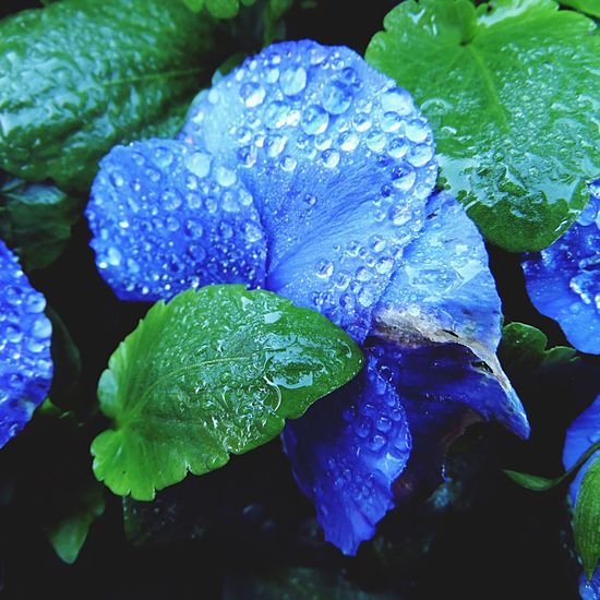 Photography Flower Flower Head Leaf Water Water Droplets Wet Freshness Petal Close-up RainDrop Fragility No People Outdoors Nature Beauty In Nature Blue Colour
