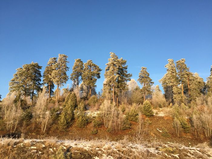 Frozen hill of trees Blue Sky Trees On Hilltop High Up Beauty In Nature Tranquility Outdoors Daylight Pine Tree Frost Frosty Mornings Frozen Hill Trees