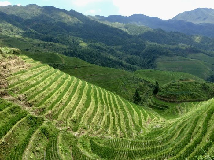 Rice Paddy Agriculture Crop  Farm Green Color Growth Landscape Mountain Range Rice Terraces Rural Scene Terrace