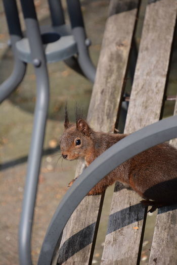 Squirrel Eichhörnchen Animals In The Wild Animal Themes Animal One Animal Animal Wildlife Mammal Rodent Boundary Barrier Fence No People Vertebrate Wood - Material Day Close-up Metal Focus On Foreground Railing Outdoors Animal Head  Whisker