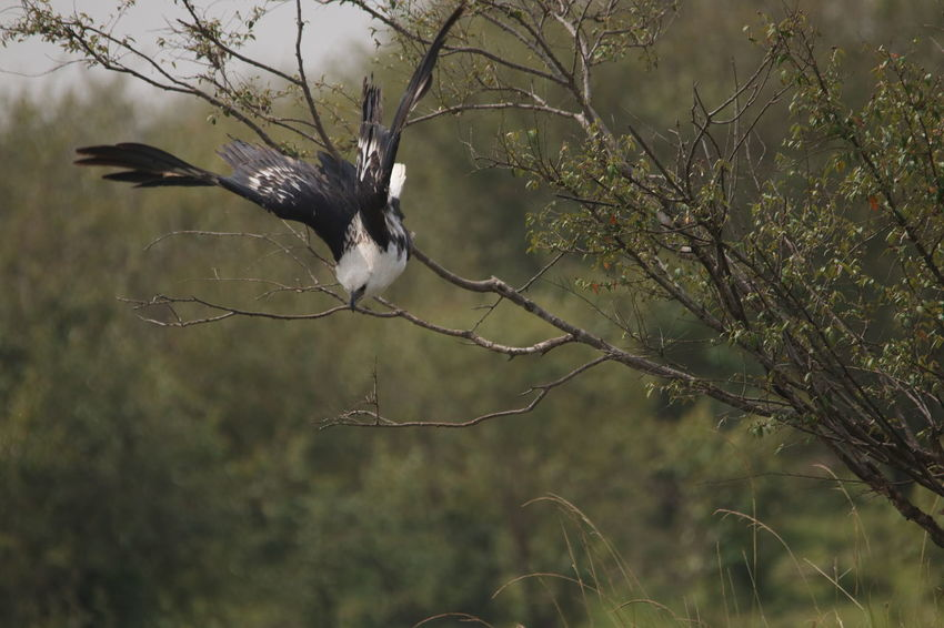 Eagle going in to attack Animal Themes Animal Wildlife Animals In The Wild Beauty In Nature Bird Bird Of Prey Branch Close-up Day Flying Focus On Foreground Nature No People One Animal Outdoors Spread Wings Tree