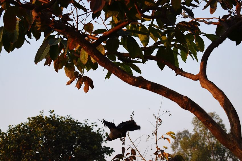 its time to go home Flying Crow Indraprastha Park Tree Branch Leaf Full Length Sky Animal Themes