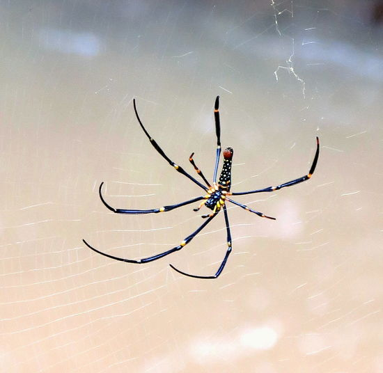 Nephila Maculate Araignée Spider Spider Web Phobia EyeEm Nature Lover Animal Wildlife Animals In The Wild Animal Insect Photography Insect EyeEm Best Shots Spider Web Spider Insect Focus On Foreground Survival Web Day