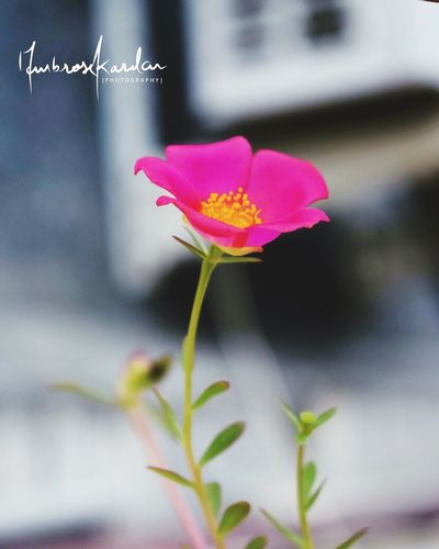 Beautiful tiny pink flower. Blooming Bloom Blossom Flowering Plant Flower Vulnerability  Fragility Plant Beauty In Nature Pink Color Close-up Petal Focus On Foreground Growth Freshness Nature Inflorescence Outdoors Flower Head First Eyeem Photo