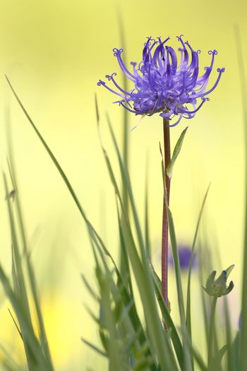Beauty In Nature Blade Of Grass Botany Close-up Flower Flower Arrangement Flower Head Flowering Plant Focus On Foreground Fragility Freshness Growth Inflorescence Nature No People Outdoors Petal Plant Plant Stem Purple Selective Focus Sepal Vulnerability
