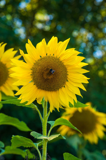Closeup of a sunflower head growing in the field. Bees Colors Field Green Plant Sunflower Yellow Flower Bee Blue Sky Close-up Closeup Flora Floral Flower Insect On Flower Insect On Yellow Flower Insect Photography Outdoor Photography Outdoors Sunflower Head Sunny Day Yellow Color