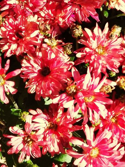 Fall flowers Flower Nature Beauty In Nature Outdoors Close-up Blooming Mums Richwood Texas Enjoying Life Thingsthatmakemesmile Streamzoo Family 2017 Beauty In Nature Blossom Nature Texas