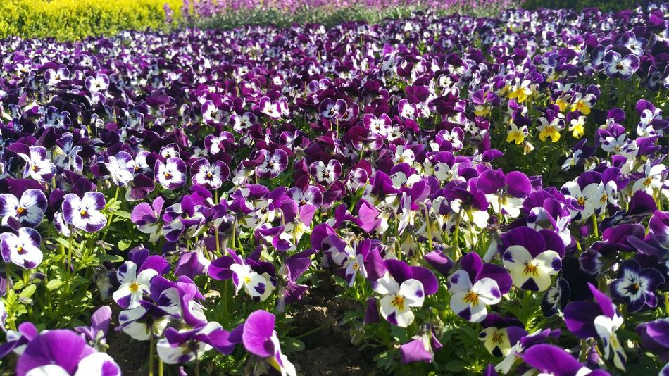 Flower Beauty In Nature Growth Nature Fragility Field Purple Day Freshness Outdoors Plant Petal Abundance No People Springtime Blooming Flowerbed Flower Head Petunia Close-up Many Flowerbeds Purpleflower Flowers Pansie