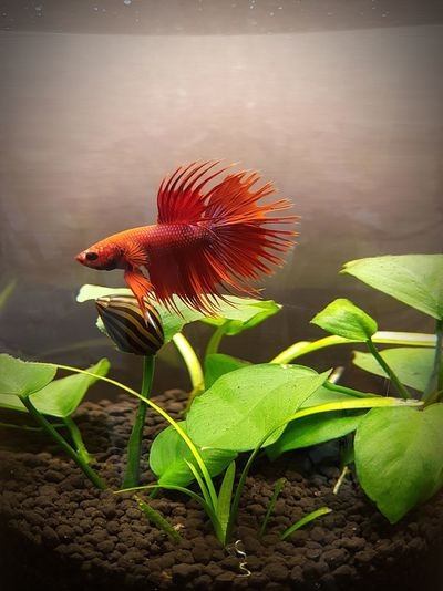 Close-up Fish Fish Tank One Animal Pet Red Siamese Fighting Fish Water Plant Zebra Snail