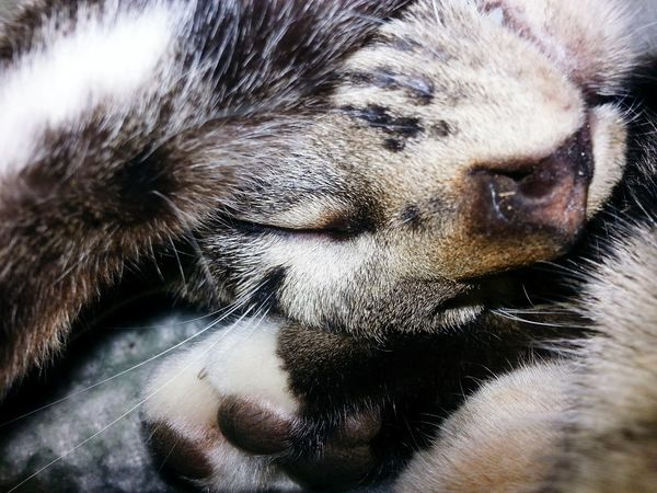 Pets One Animal Close-up Animal Head  Cats Sleeping Cat Kittycat Cat Cat Closeup