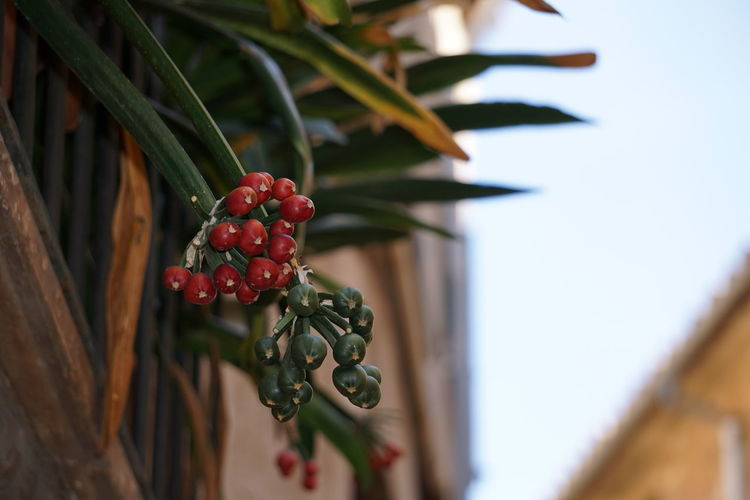 Close-up of cherry growing on plant