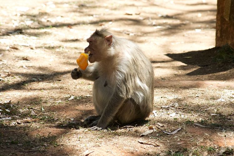 Monkey eating ice cream Ice Cream Monkey Sunlight Animal Themes Animal Nature Day Shadow One Animal Animal Wildlife Food Eating
