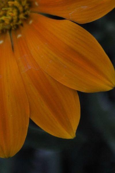 Flower Shot Orange Petal Close Up 1/4
