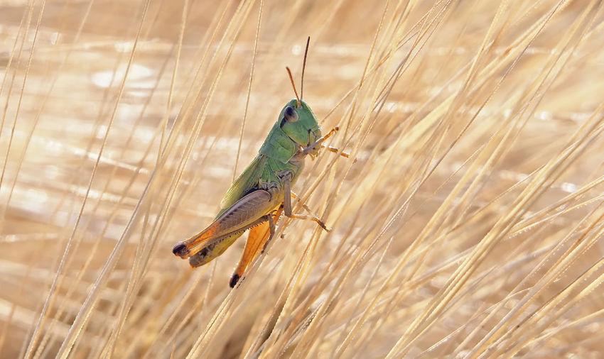 Grasshopper in
